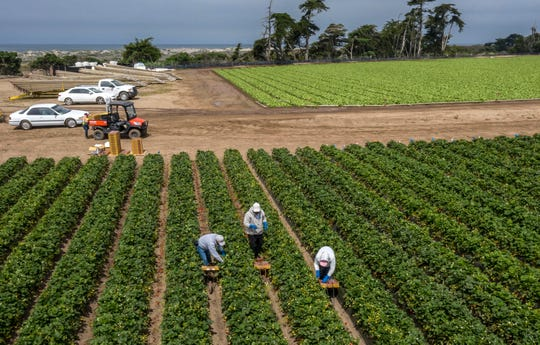 Workers harvest strawberries near where five new varieties are grown in Moss Landing from the Public Strawberry Breeding Program at UC Davis. The university recently announced the new varieties.