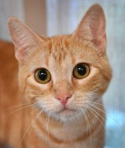 Honey is a 1-year-old, orange tabby, domestic short-haired cat. She is sweet, curious, calm and is available for adoption at the Wichita Falls Animal Services Center.