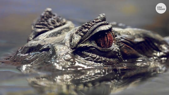 Methed-up gators and ducks and geese: Tennessee police warn against flushing drugs down the toilet