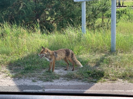 """""""There is little evidence to suggest that wildlife are thriving in the Chernobyl zone,"""" says University of South Carolina researcher Timothy Mousseau.  """"It is a very rare event for any of the tourists to see any wildlife during their visit other than the occasional tame fox or hare."""""""