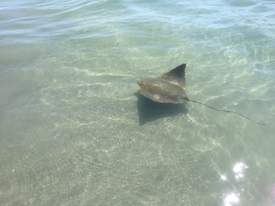 Cownose rays swim in the North Wildwood surf on July 15, 2019.