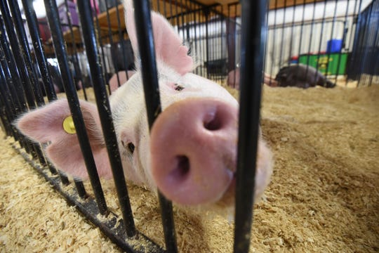 A pig tries to stay cool in his pen during the 2019 Crawford County Fair. Livestock show dates will have to be adjusted in 2020 because the fair will be a day shorter.