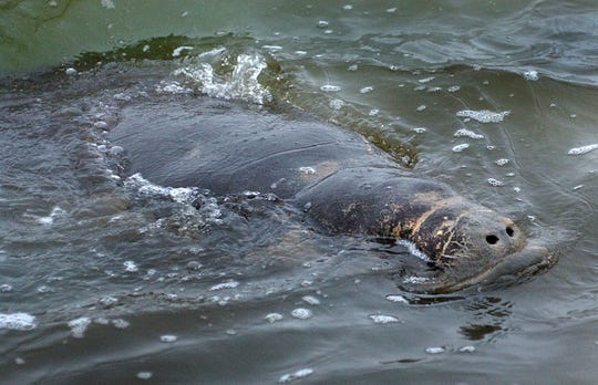 A stranded manatee was found in the Corpus Christi Ship Channel at the Citgo dock where a flow of warm water from the Citgo refinery probably attracted the manatee on Jan. 3, 2007. The mammal was eventually transferred to the Texas State Aquarium' Sea Lab and then Tampa, Florida for rehabilitation.
