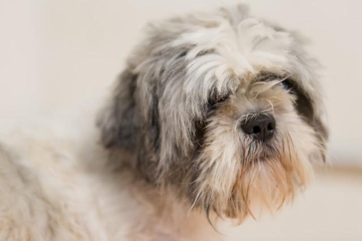 18 Dearborn Shih Tzus need a home: How to adopt