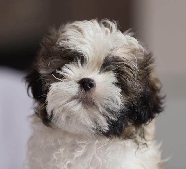 Bambi is one of the 18 Dearborm Shih Tzu dogs in need of a home.