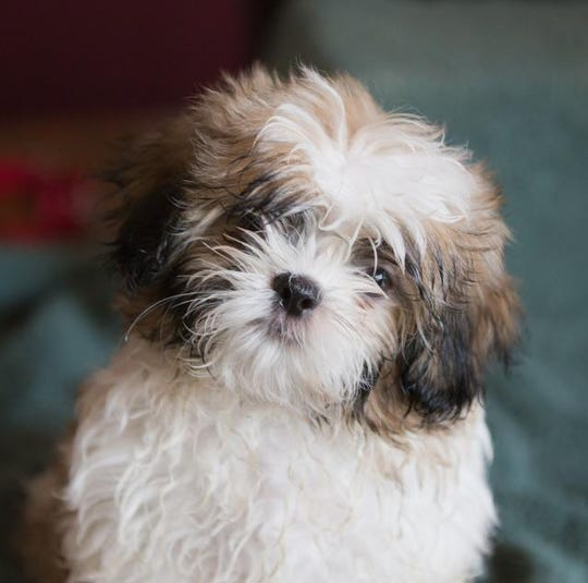 Thumper is on of the 18 Dearborn Shih Tzu dogs in need of a home.