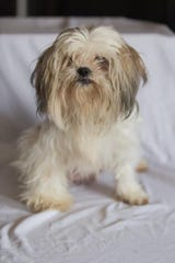 Claudette is one of the 18 Dearborn Shih Tzu dogs in need of a home.