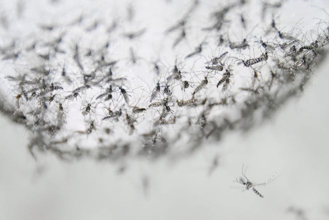Male Aedes albopictus mosquitoes in a container at the Guangzhou Wolbaki Biotech lab in Guangzhou, China, prepared for release.