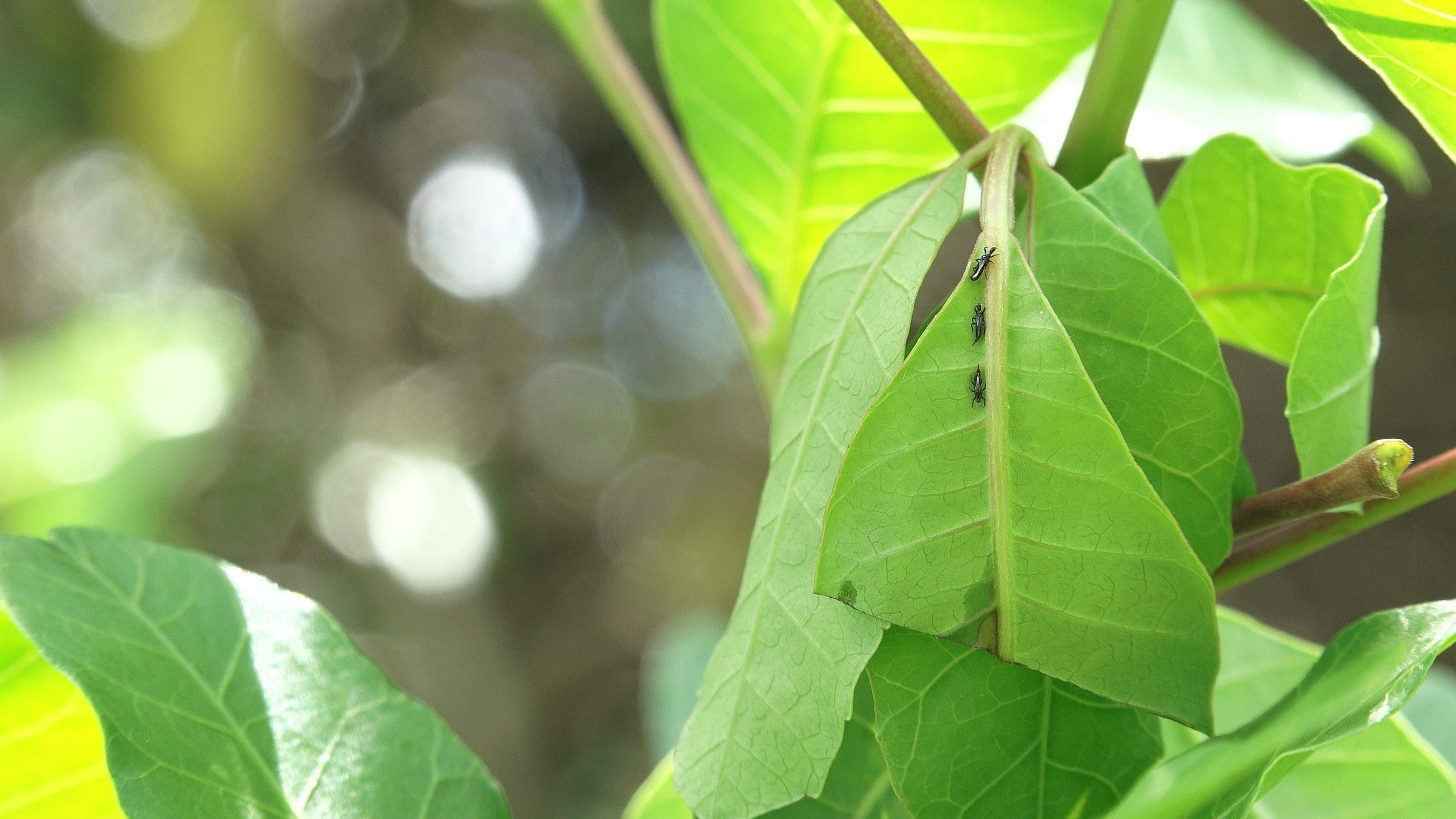 Insect army deployed to fight invasive Brazilian pepper