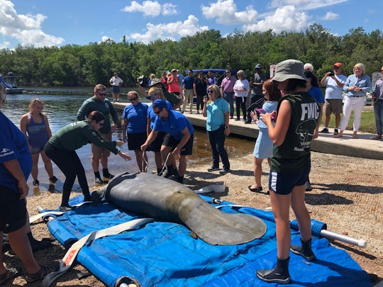 Employees from SeaWorld Orlando and FWC take measurements on a manatee before releasing it in Punta Gorda on Wednesday. Experts from both groups rescued the manatee in January and spent the past seven months nursing it back to health.
