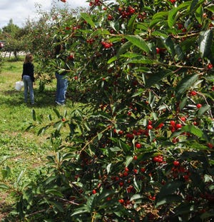 Visitors to Lautenbach's Orchard Country Winery & Market in Fish Creek pick cherries in this photo from several years ago. Cherry orchards in Door County normally are open for people to pick their own by now, but Lautenbach is among a number that are delaying the start of the season because the cherries aren't yet ripe enough.
