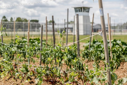 A variety of vegetables grow in a garden tended by offenders inside the Plainfield Correctional Facility, on Thursday, July 11, 2019. This is the second year for the program, which has so far donated 395 pounds of vegetables grown by the offenders to community churches and other institutions.