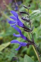 Black and Blue Sage offers excellent blue summer flowers and is excellent for attracting hummingbirds to the garden