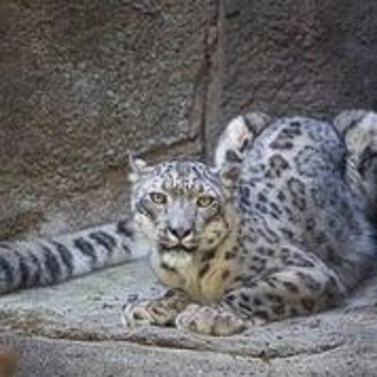 Taza, Potter Park Zoo's new snow leopard