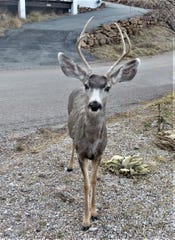 A mule deer will raid cat kibble or hummingbird feeder if they are left within his reach.