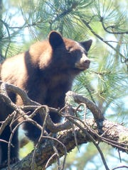 This young bear was sunning in a tree near the Ruidoso River, but ended up being euthanized.