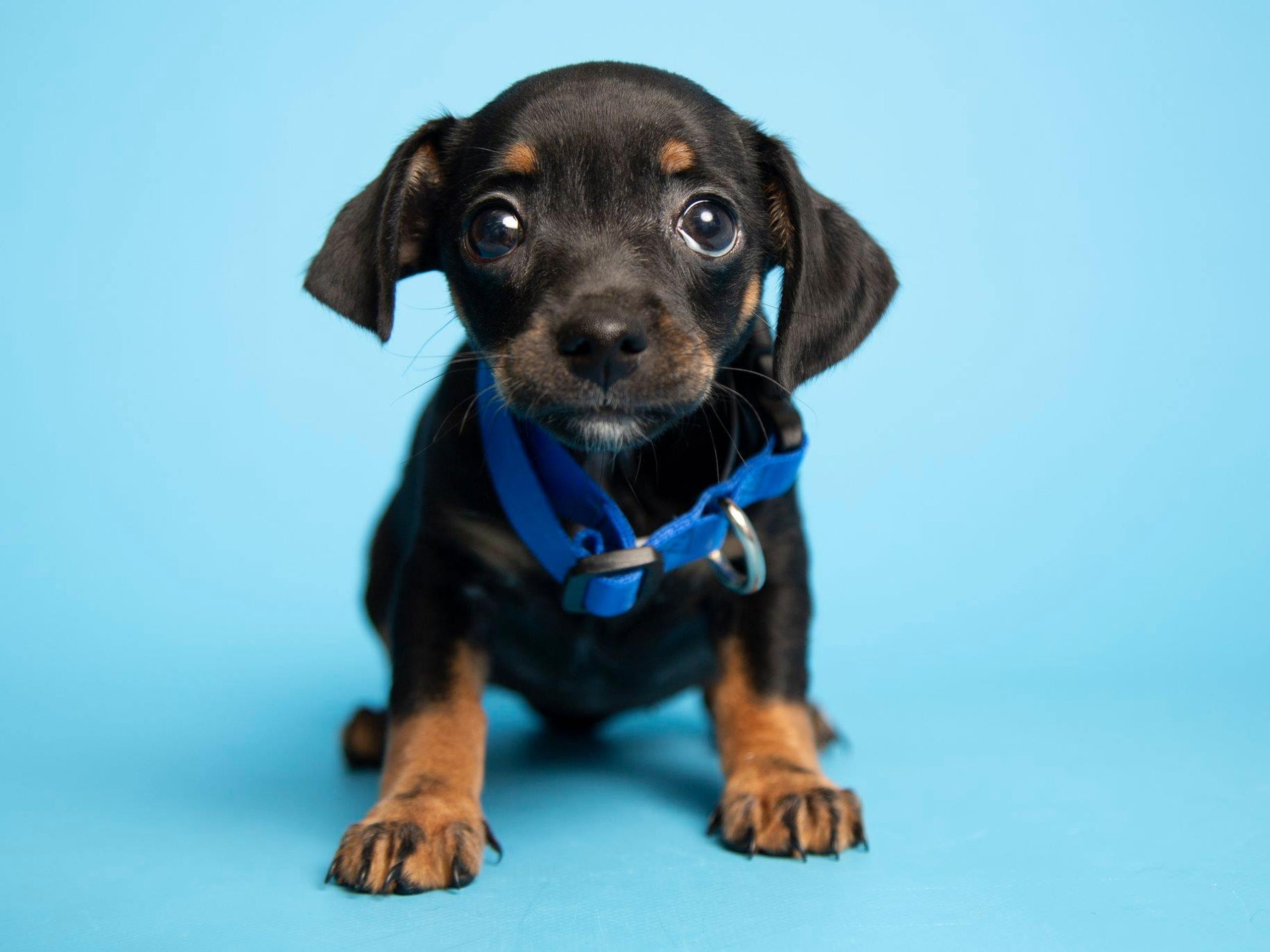 Puppies for adoption in Phoenix