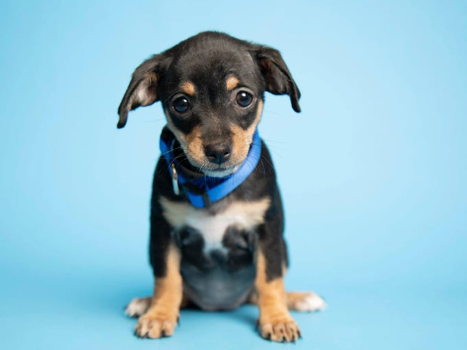 The puppies will be available for adoption on Thursday at 11 a.m. at the Arizona Humane Society's Sunnyslope campus at 9226 N. 13th Ave.