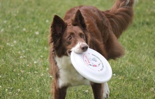 Ratchet, considered Team ZOOM's most energetic dog, perform some Frisbee tricks for spectators at the Ottawa County Fair.