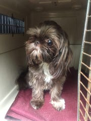 Truffles the Shih Tzu, taken from a car parked at a Canandaigua plaza, has been reunited with her owner.