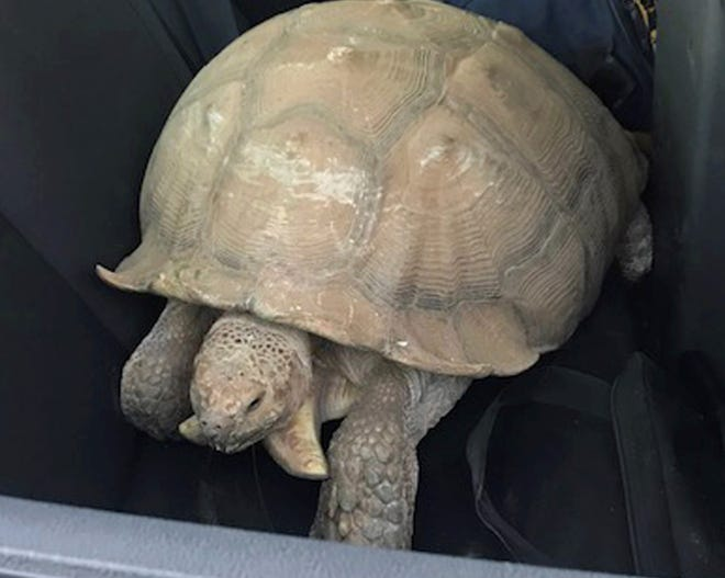 This photo provided by the California Highway Patrol shows a 250-pound tortoise in a patrol car that officers rescued after it wandered away from its home and was spotted on the shoulder of a road in Santa Ynez,