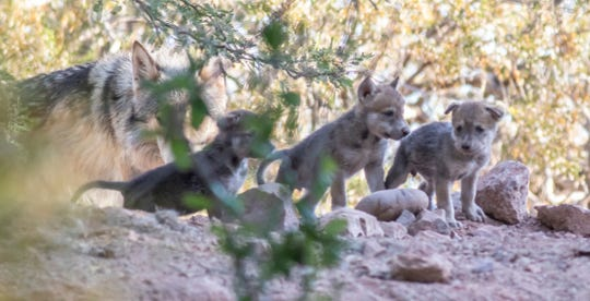 Three of the six Mexican gray wolf pups born in early-May at the Phoenix Zoo.