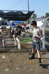Exhibitors clean cows in preparation for the 2019 dairy show. FOfficials will decide whether to have a fair this year no later than June 17.