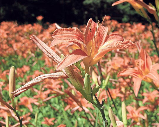 Some daylilies are suffering from fluctuating weather conditions.