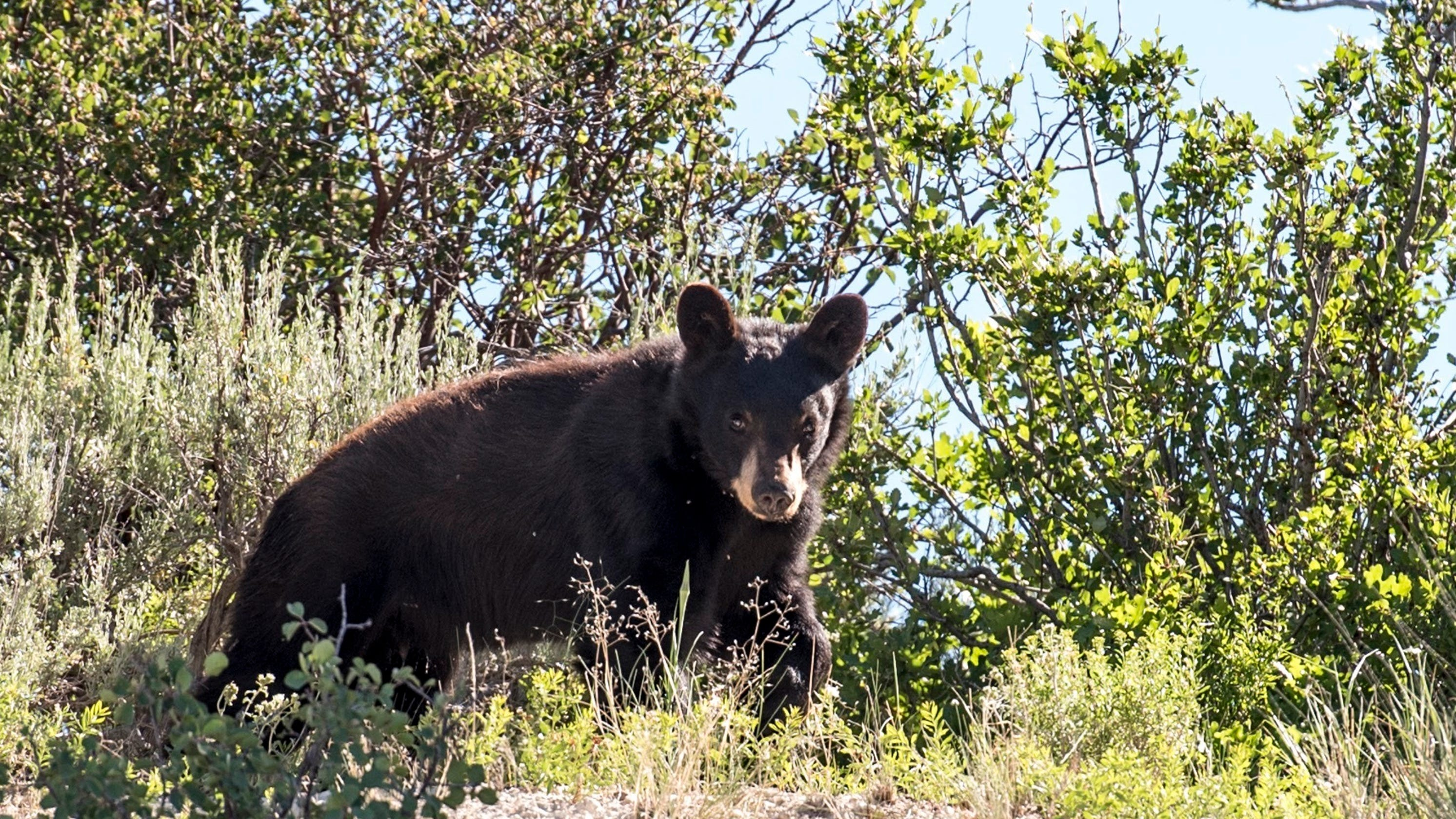 Reports of run-ins with bears soar in Utah after wet spring