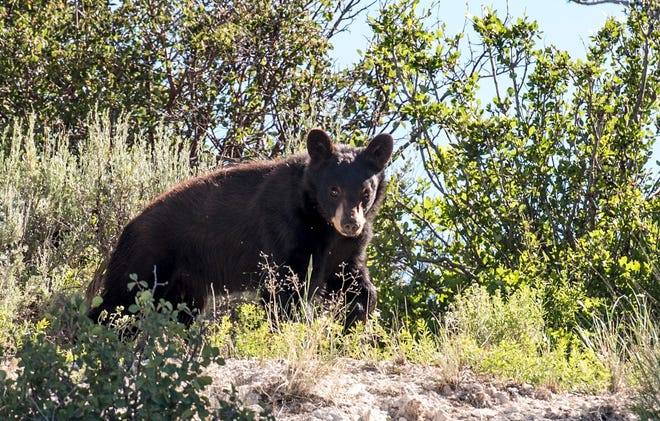 This undated photograph provided by the Utah Division of Wildlife Resources in July 2019 shows a bear. Wildlife officials say reports of bears coming down from the mountains and rummaging through backyard and campgrounds throughout Utah have more than doubled this in 2019. Faith Jolley with the Division of Wildlife Resources said Wednesday, July 17, 2019, her agency has already received more than 25 reports of black bears getting into trash cans and camp sites, mostly in central Utah. In 2018 the DWR recorded 27 total bear encounters. None have resulted in serious injury. (Utah Division of Wildlife Resources, via AP)