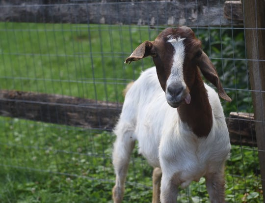 Alice was rescued by Here With Us Farm Sanctuary in Seven Valleys in June. The goat was in a wheelchair last month and half of her face is paralyzed after suffering from a severe listeria infection. Since she has made a full recovery.