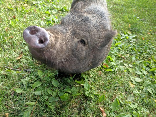 Winston, a pot-belly pig, was rescued by Here With Us Farm Sanctuary in May. The Seven Valleys-based sanctuary opened in July 2018 and has since rescued 40 animals.
