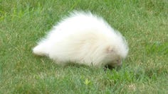 CORRECTS YEAR TO 2019 FROM 2017 - In this Tuesday, July 16, 2019, photo taken provided by the Seashore Trolley Museum, a rare albino porcupine waddles around near the Seashore Trolley Museum in Kennebunkport, Maine. The museum asked for help identifying the strange animal after it appeared on the grounds this week. (Fred Hessler/Seashore Trolley Museum via AP)