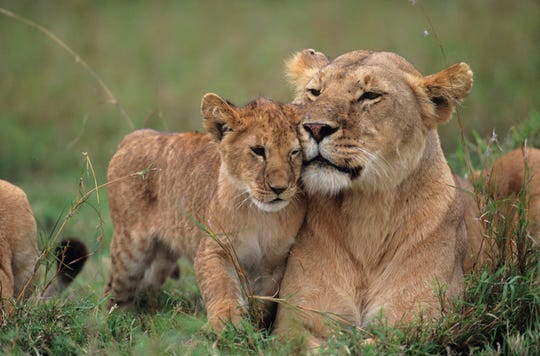 Female lion and her cub at the Masai Mara National Reserve in Kenya. Brevard Zoo officials plan to open a lion exhibit in 2021, featuring the popular predators as a high-profile showpiece of the Expedition Africa loop.