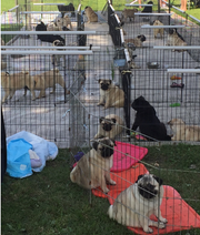 Pugs wait for their time at a previous Harding Classic Dog Show. The 2019 Harding Classic Dog Show begins at 8 a.m. on July 28 at Veterans Memorial Coliseum. Admission is free and parking is $5