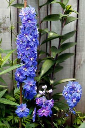 Delphiniums stand tall with their tight bluish-purple spikes.
