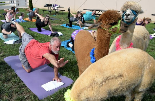 Dave Gibbs takes a yoga class with alpacas during Natural Fiber Extravaganza at the Wilson County Exposition Center in Lebanon on Friday, July 19,  2019.  Alpaca Owners Association offered the free yoga class.