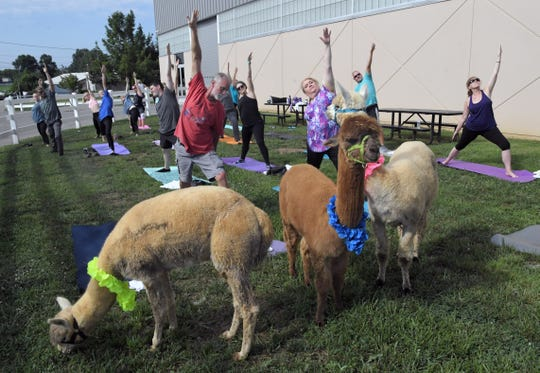 The Alpaca Owners Association offered a free yoga class with a group of alpacas at the Natural Fiber Extravaganza at the Wilson County Exposition Center in Lebanon on Friday, July 19,  2019.