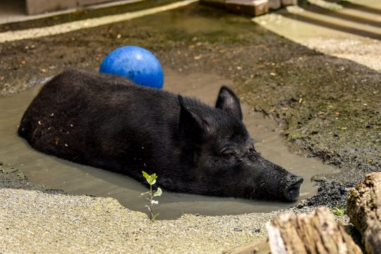 The staff at Bergen County Zoo helps animals beat the heat in Paramus on Friday July 19, 2019. A pig takes refuge from the sun under the shade in a mud puddle.