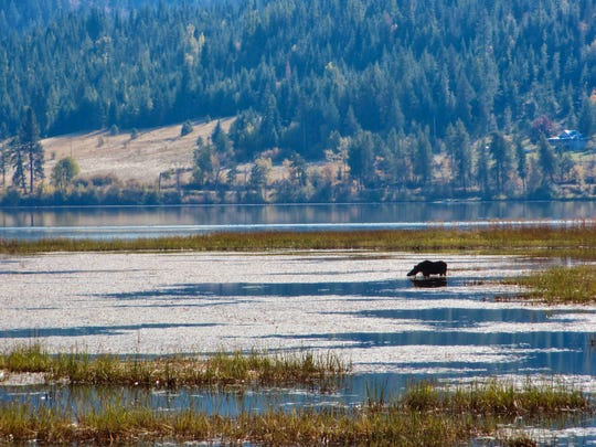 A moose cools off in the Chain Lakes area along the Trail of the Coeur d'Alenes in Idaho.