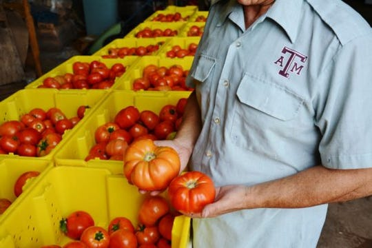 Tomatoes can be grow between the last spring frost to the first freeze in fall or early winter, and you can harvest throughout the season if you plant more than twice a year.