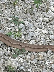 "The venomous copperhead lacked most of the ""Hershey's Kisses"" markings on its side."