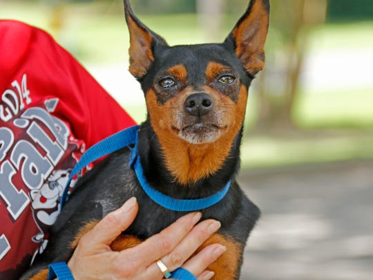 Twizzle is a Manchester Terrier Mix of about 8 years old.