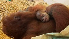 This undated photo provided by the Audubon Nature Institute shows mama orangutan Feliz with a newborn infant asleep at the Audubon Zoo in New Orleans. The Audubon Zoo has announced the birth of a critically endangered Sumatran orangutan to longtime inhabitant Feliz and Jambi, a male brought from Germany last fall. (Audubon Nature Institute via AP)