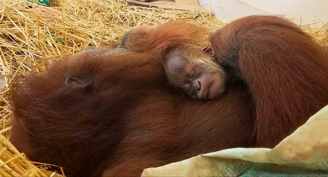 This undated photo provided by the Audubon Nature Institute shows mama orangutan Feliz with a newborn infant asleep at the Audubon Zoo in New Orleans.
