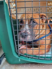 One of two dogs shot during an incident Friday afternoon in Detroit is being treated by Detroit Pit Crew Dog Rescue.