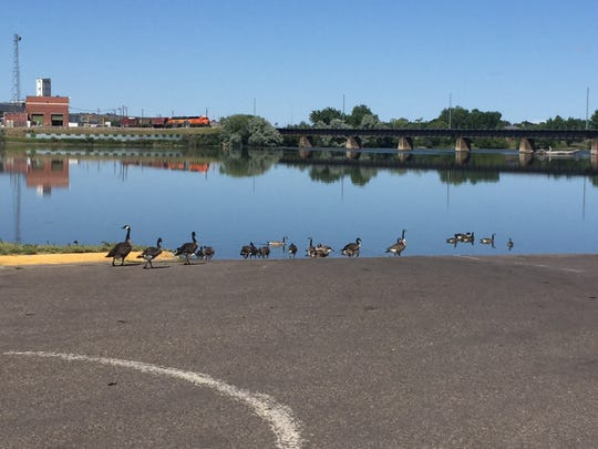 A flock of geese gather at the boat put-in at Broadwater Bay in Great Falls late Saturday morning. The city set a record low of 41 degrees Saturday morning.