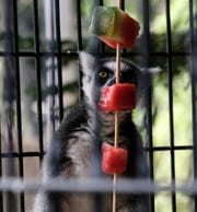 Miranda, a ring-tailed lemur, takes advantage of a frozen watermelon treat at Potter Park Zoo on Saturday, July 20, 2019. The zoo provides frozen treats and misting water areas for many of the animals when the weather becomes extremely hot.