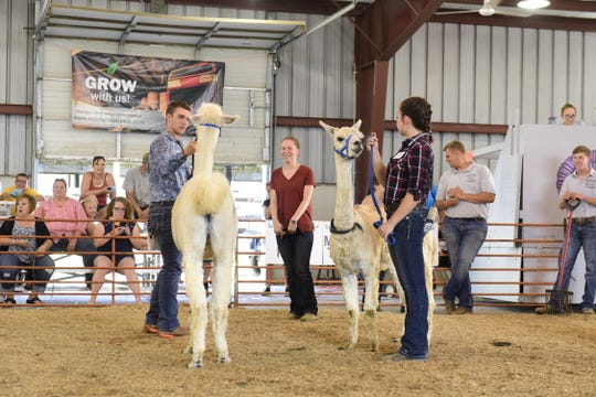 Blake Beckley, left, and Michelle Flick try their hand at showing alpacas during the 2019 Showman of Showmen contest.