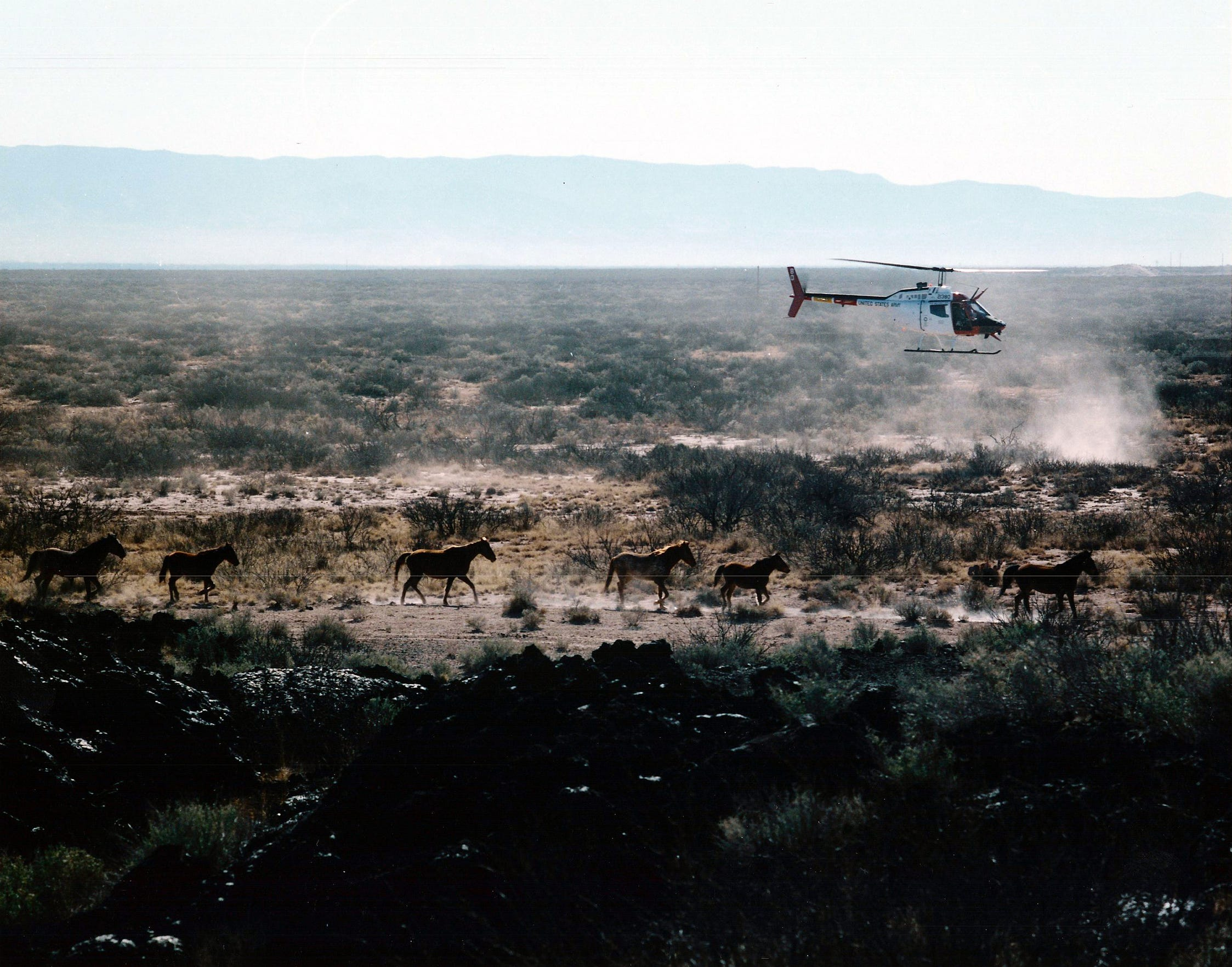 Small helicopters were used to help herd the free-roaming White Sands horses toward capture pens.